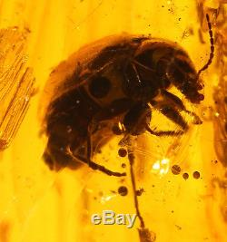 Huge Genuine Baltic Amber 37.90 Ct With Rare Fossil Insect Bug